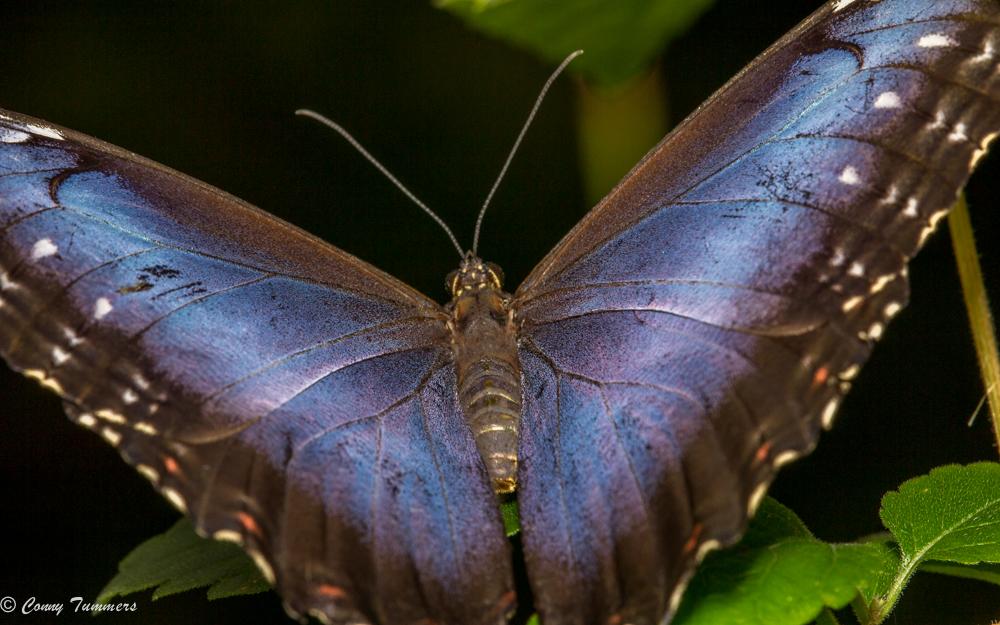 Morpho Peleides, Azuurvlinder