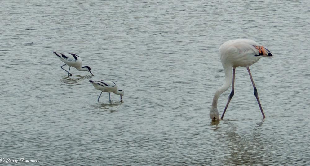 Kluten en flamingo