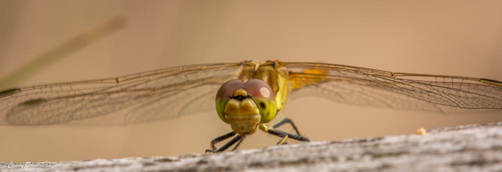 Dezelfde libelle, nu oog in oog