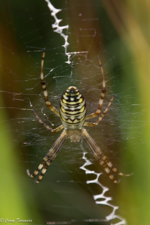 Tijgerspin met de in het web geweven zigzaglijn